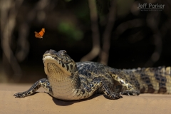 Yacare caiman (Caiman yacare) with butterfly