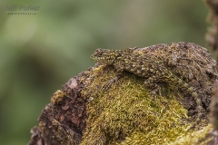 Lizard on lichen covered rock