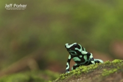 Poison dart frog (Dendrobates auratus), Central America