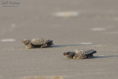 Kemp's Ridley sea turtle hatchling release, North Padre Island National Seashore