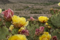 Big Bend NP, cacti in bloom