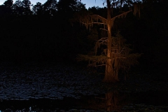 Baldcypress in Caddo State Park Texas