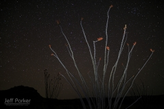 Ocotillo in bloom under the stars of Big Bend National Park