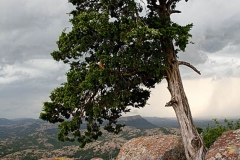 Juniper tree with lichen covered rocks. Storm approaching