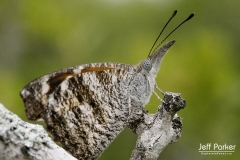 American Snout butterfly (Libytheana carinenta)