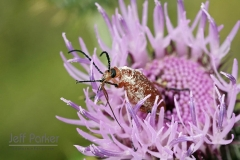 Beetle in American basketflower