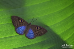 Blue butterfly in Costa Rica