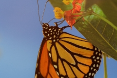 Monarch Butterfly (Danaus plexippus) on milkweed