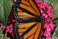 Monarch Butterfly (Danaus plexippus) on penta