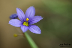 Blue-eyed grass (Sisyrinchium angustifolium)