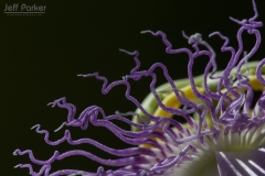 Purple passionflower (Passiflora incarnata L.)