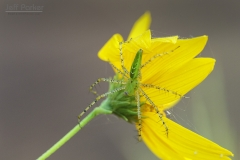 Green Lynx Spider (Peucetia viridans) on yellow flower, macro photography
