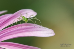 Green lynx spider (Peucetia viridans) on flower petal, central Texas