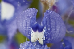 Bluebonnet petals with dew