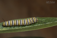 Monarch (Danaus plexippus) caterpillar