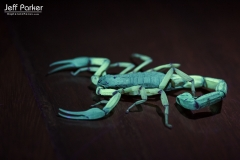 Scorpion in Costa Rica