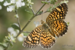 Vesta Crescent butterfly (Phyciodes graphica)