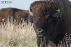 American Bison (Bison bison) with leaves on horn