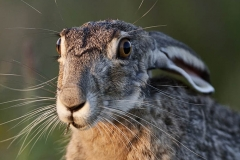 Black-tailed Jackrabbit (Lepus californicus) portrait