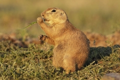 Black-tailed prairie dog (Cynomys ludovicianus), eating