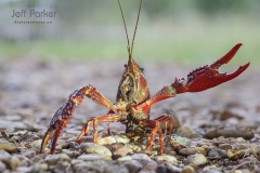 Crawfish in central Texas