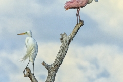 Snowy Egret and Roseate Spoonbill, High Island, Texas