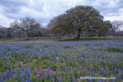 Field of Texas bluebonnets and live oak tree