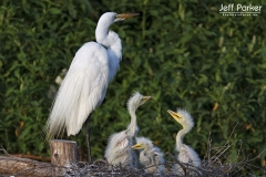 Great Egret (Ardea alba) and chicks, High Island, Texas