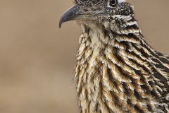 Greater Roadrunner, Texas birds