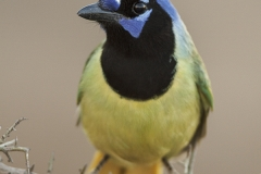 Green Jay (Cyanocorax yncas) portrait, South Texas