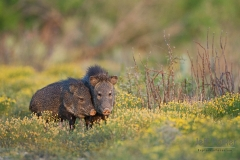 Javelina (Pecari tajacu) in field of flowers South Texas