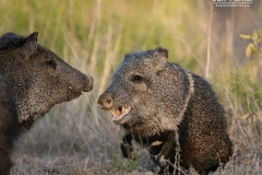 Javelinas fighting (Pecari tajacu)