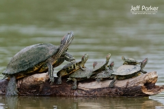 Red-eared Slider (Trachemys scripta elegans) pile up
