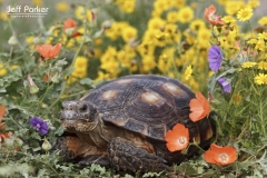 Texas Tortoise in Texas wildflowers