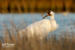 Whooping Crane (Grus americana) at Aransas National Wildlife Refuge, Texas.