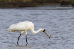Whooping Crane (Grus americana) with Blue Crab (Callinectes sapidus) at Texas Gulf