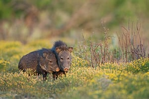 Javelinas in south Texas, wildlife photography by Jeff Parker