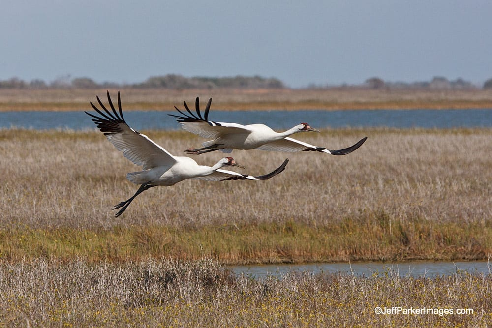 Whooping Cranes in flight. Click on the photos for a larger image.