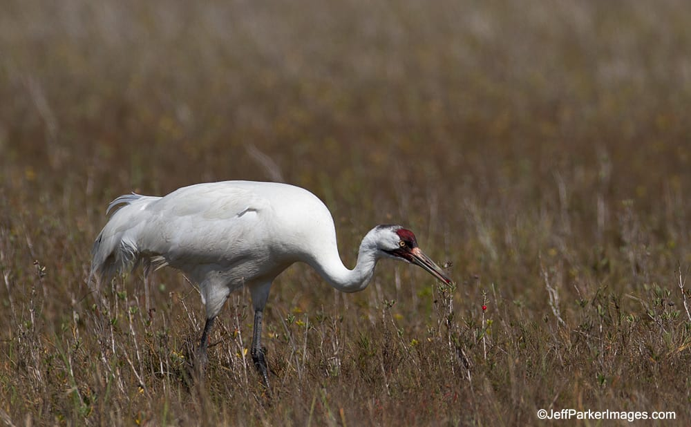 Whooping Crane eating wolfberries.
