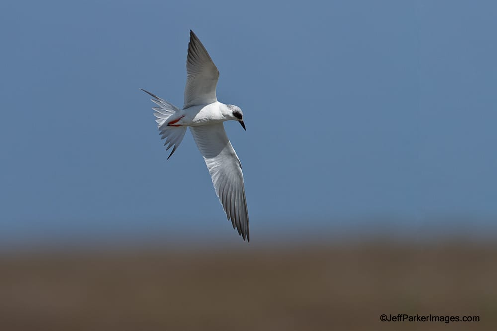 Forster's Tern in flight.