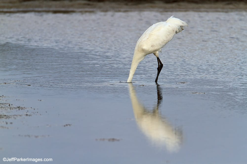 Whooping Crane looking for crabs.