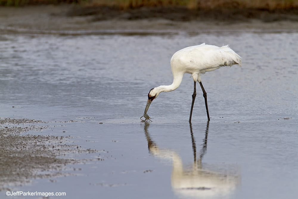 Whooping Crane with crab.