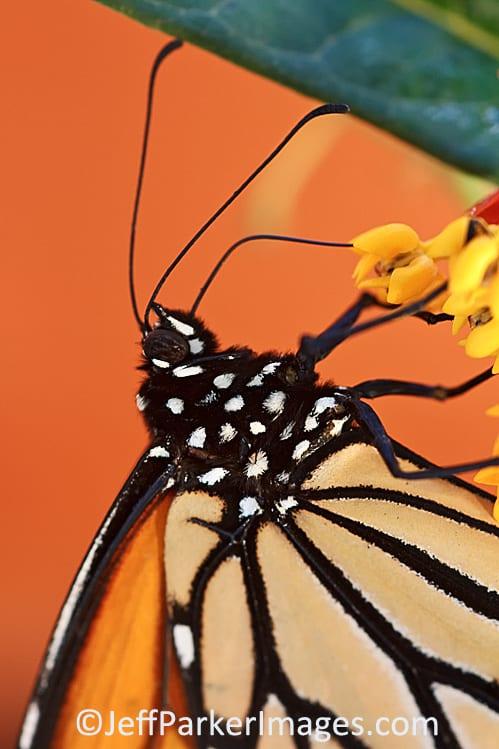 Monarch close-up