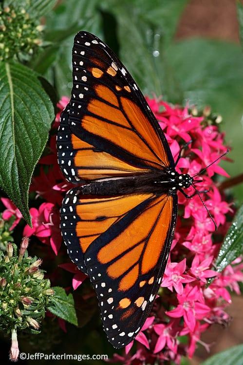 Monarch on penta flower