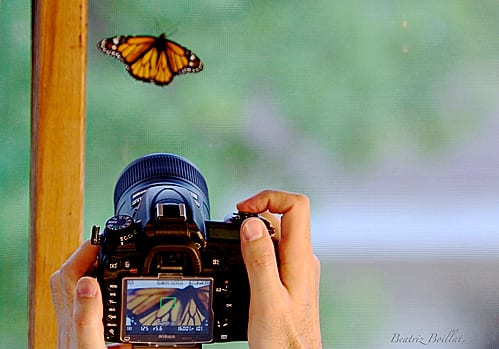 Photographing a monarch