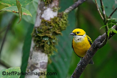 Silver-throated tanager, Costa Rica.
