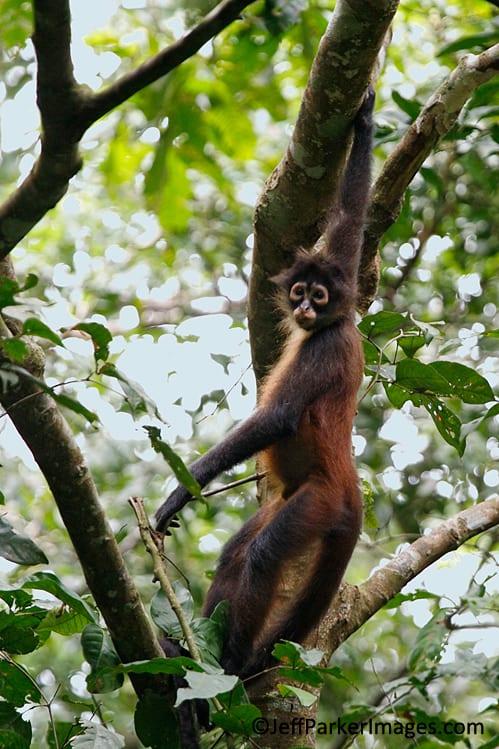 Spider monkey, Costa Rica
