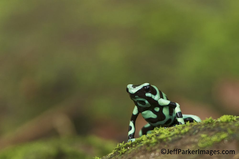 Green and black poison dart frog (Dendrobates auratus)