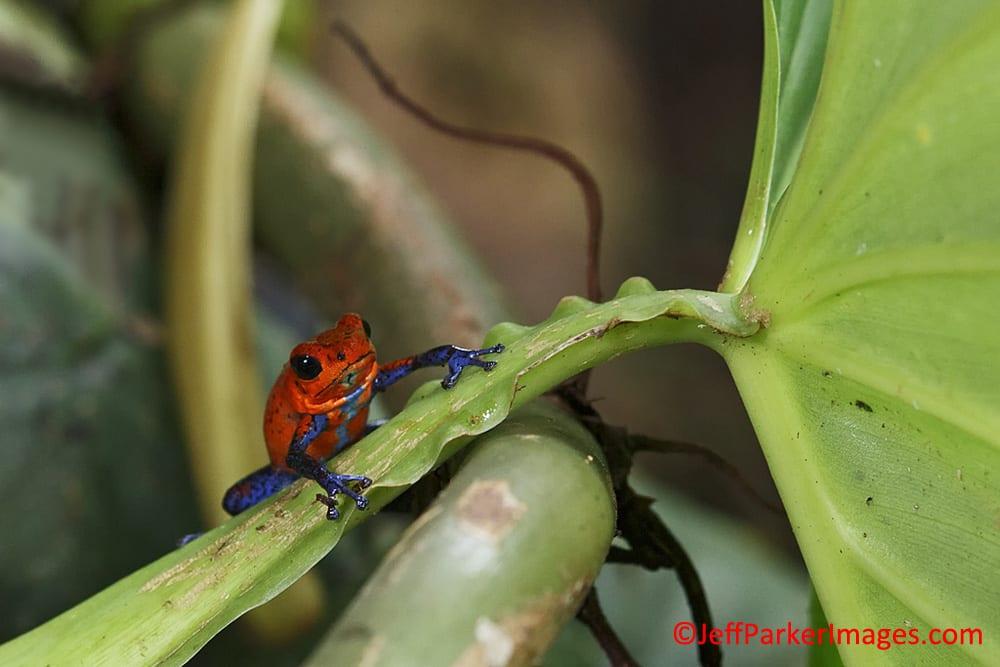 Bluejeans Poison Dart Frog (Oophaga pumilio)~©Jeff Parker 2013