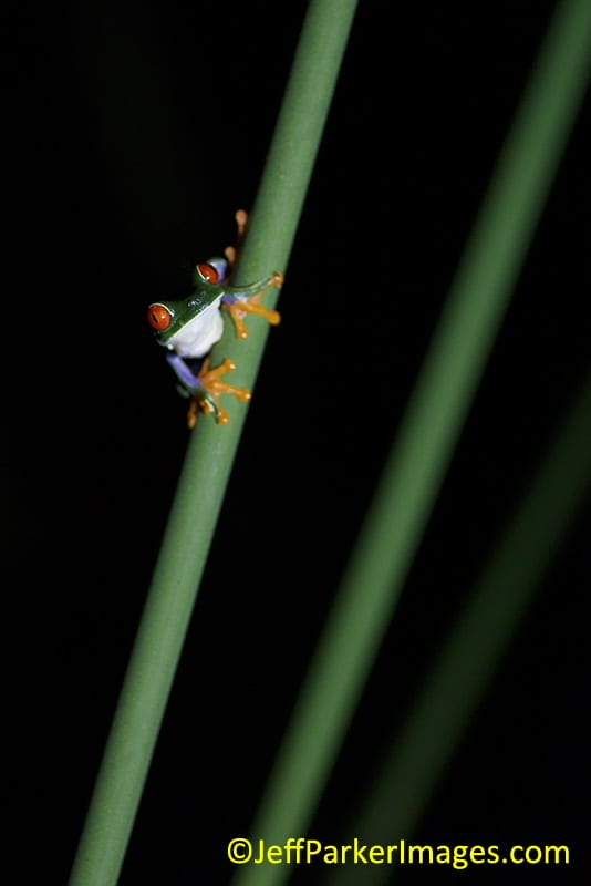 Red-eyed tree frog (Agalychnis callidryas)~© Jeff Parker 2013